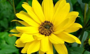 Arnica flower with yellow petals and green leaves.